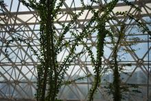 Image of vines growing inside Biosphere 2 with sky in the background